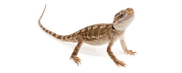 Exo Terra Bearded Dragon Starter Kit Starter Kit For Young